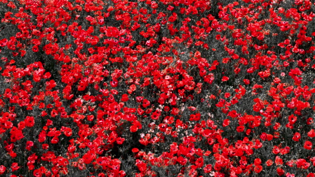 red poppy flowers, staxton, north yorkshire, england - poppy plant stock videos and b-roll footage