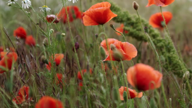 red poppy flowers - recreational drug stock videos & royalty-free footage