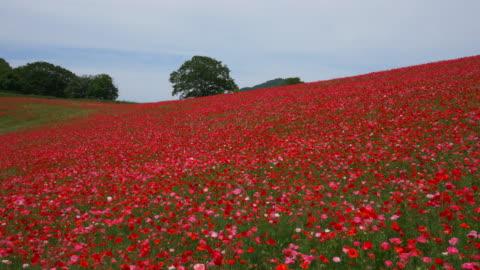 red poppy gardens full bloom - blomrabatt bildbanksvideor och videomaterial från bakom kulisserna