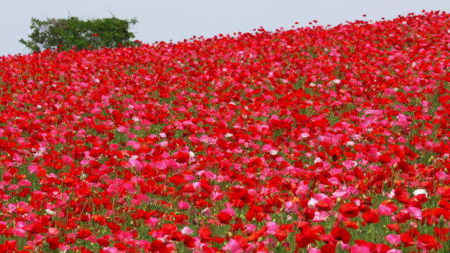 red poppy gardens full bloom - saitama prefecture stock videos & royalty-free footage