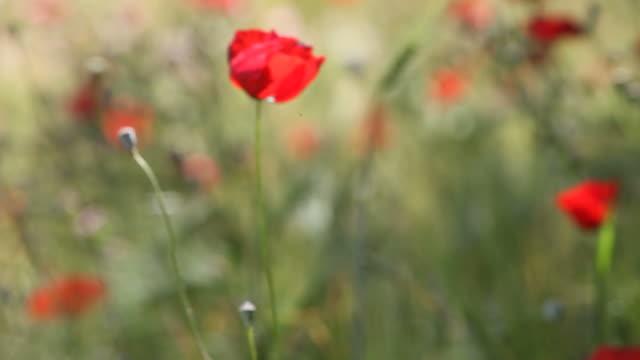 rosso papavero in un campo di orzo fiore nel vento - selimaksan video stock e b–roll