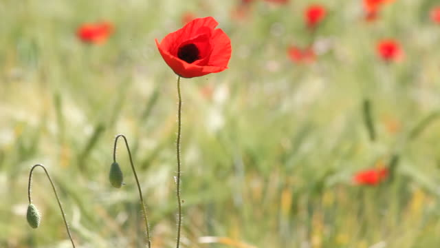 Red Poppy In Barley Field Swinging In Wind