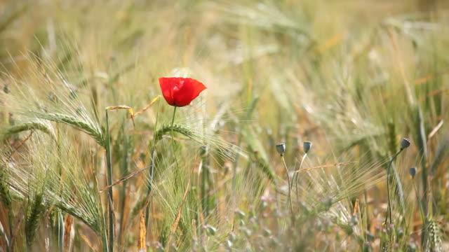 red poppy in barley field swinging in wind - selimaksan stock videos & royalty-free footage