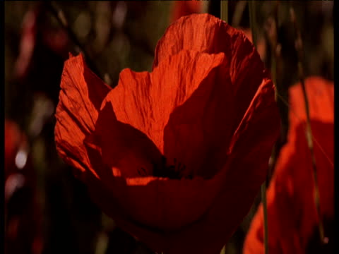 red poppy with black stamens gently swaying in summer breeze - armistice stock videos & royalty-free footage