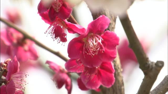 vídeos de stock e filmes b-roll de red prunus flowers   pan up   prunus flowers by the castle   up - estame