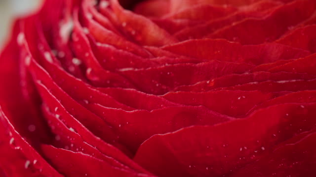 red ranunculus flower with water drops,rotate macro shot. - ranunculus stock videos & royalty-free footage
