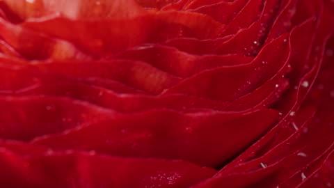 red ranunculus flower with water drops,rotate macro shot. - ranunculus stock videos & royalty-free footage