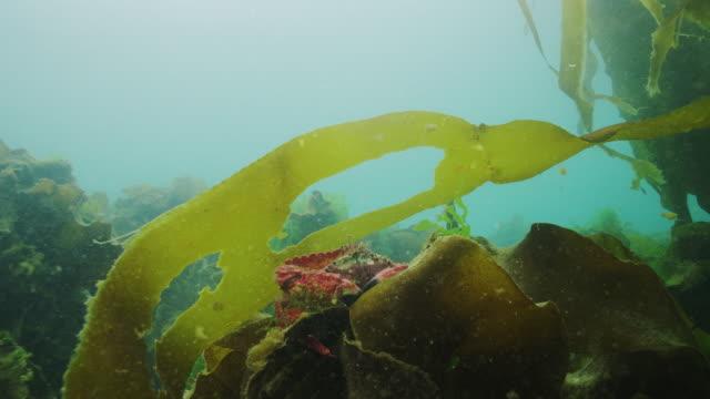 red rock crab - kelp stock videos & royalty-free footage