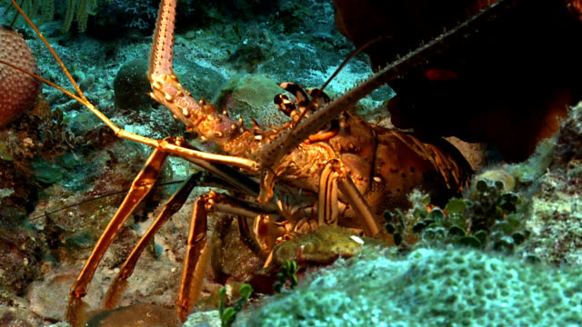 red rock lobster on caribbean reef - lobster stock videos & royalty-free footage