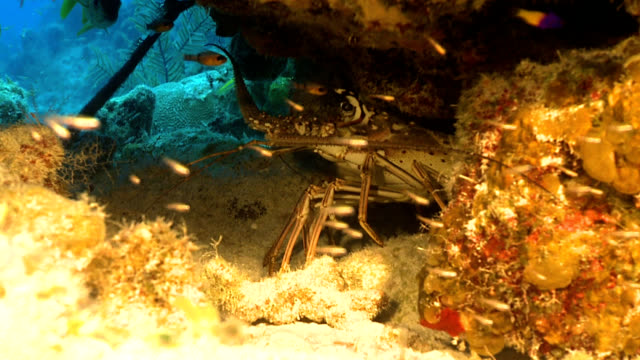 red rock lobster on caribbean reef - lobster stock videos and b-roll footage