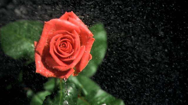 vídeos y material grabado en eventos de stock de red rose being watered in super slow motion - una rosa