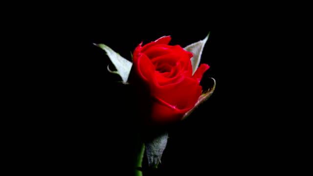 黒背景タイムラプス dci の 4 k に咲く赤いバラ - 植物 バラ点の映像素材/bロール