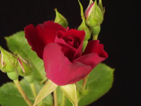 t/l cu red rose blooming  - 園芸学点の映像素材/bロール