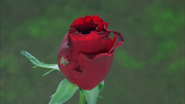 red rose blossoming, dew forming on outstretched petals available in hd. - dew stock videos and b-roll footage
