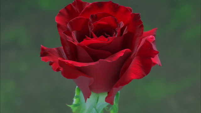 red rose blossoming, dew forms on velvety petals available in hd. - rose stock videos & royalty-free footage