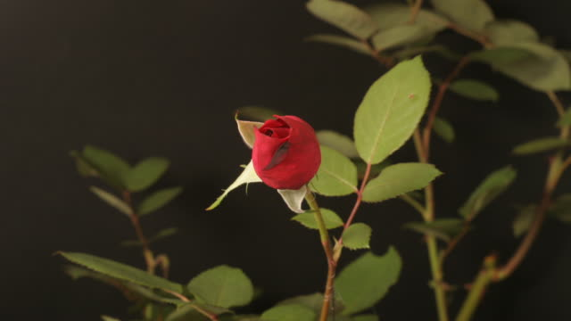 red rose closing, black background, timelapse reversed. - 果樹の花点の映像素材/bロール