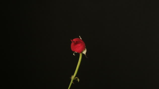 Red rose closing, black background, timelapse reversed.