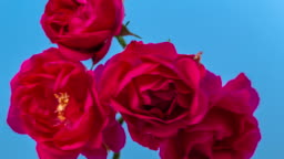 Red rose flower blooming on blue background a time lapse 4k video.