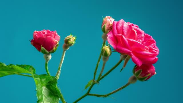 vídeos de stock e filmes b-roll de red rose flower blooming on blue background a time lapse 4k video. - pistilo