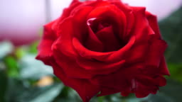 Red rose flower macro sliding motion 4K