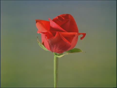 vídeos y material grabado en eventos de stock de red rose flowering - una rosa