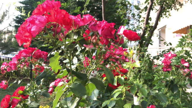 red rose flowers in the garden - bush stock videos & royalty-free footage