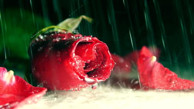 vídeos y material grabado en eventos de stock de rojo rosa bajo la lluvia - una rosa