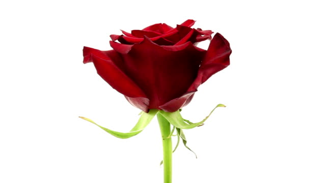 red rose on white - plant stem stock videos & royalty-free footage