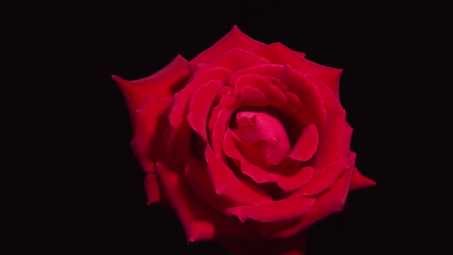 T/L, CU, Red rose opening and withering against black background