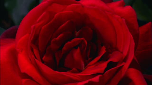 vidéos et rushes de red rose opens and blooms then petals fall off available in hd. - red