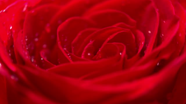 red rose cu rotating with black background - single flower stock videos & royalty-free footage