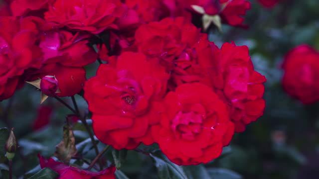 レッドのローズ。 - ゼラニウム点の映像素材/bロール