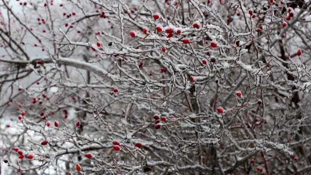 Red rosehip berries with snow HD VIDEO