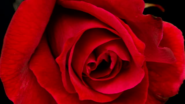 red roses blooming - flower head stock videos & royalty-free footage