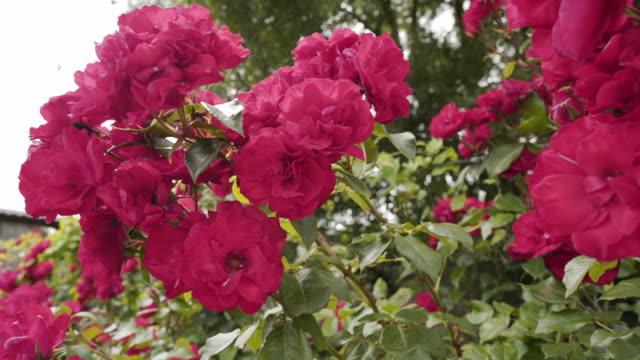 vidéos et rushes de roses rouges soufflant dans le vent - rosée