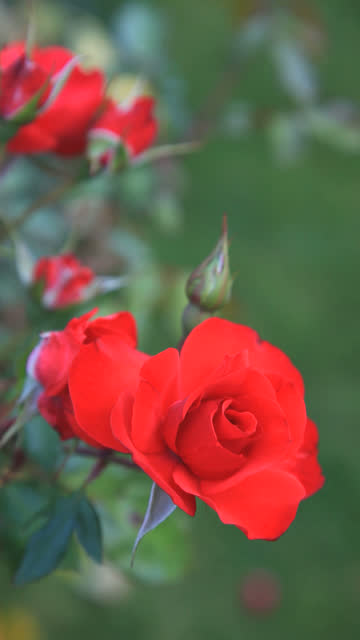 Red roses-vertical