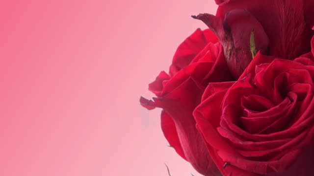 red roses with pink background - femininity stock videos and b-roll footage