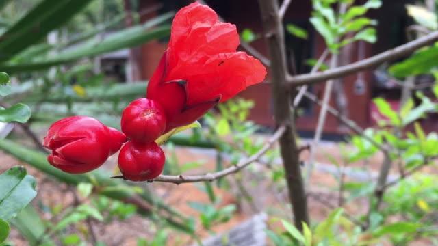 vídeos de stock e filmes b-roll de red ruby flower on tree in garden - natureza morta