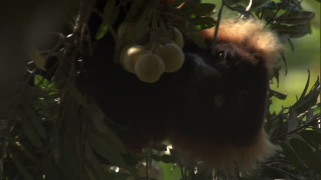 red ruffed lemur (varecia rubra) feeds on fruit in tree in forest, madagascar - feeding stock videos & royalty-free footage