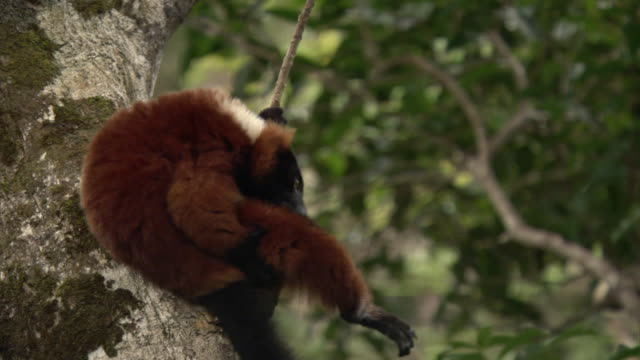 red ruffed lemur (varecia rubra) grooms in tree in forest, madagascar - inquadratura fissa video stock e b–roll