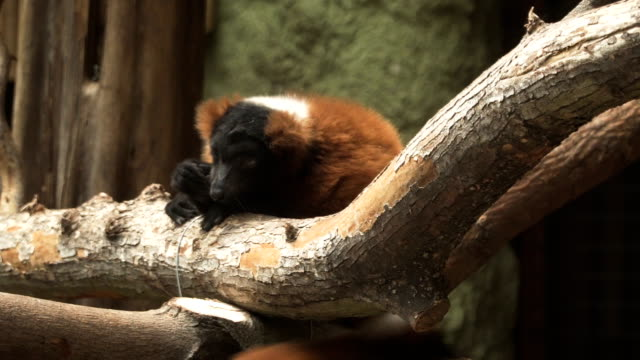 red ruffed lemur - varecia rubra look tired and lazy - animal hair stock videos & royalty-free footage