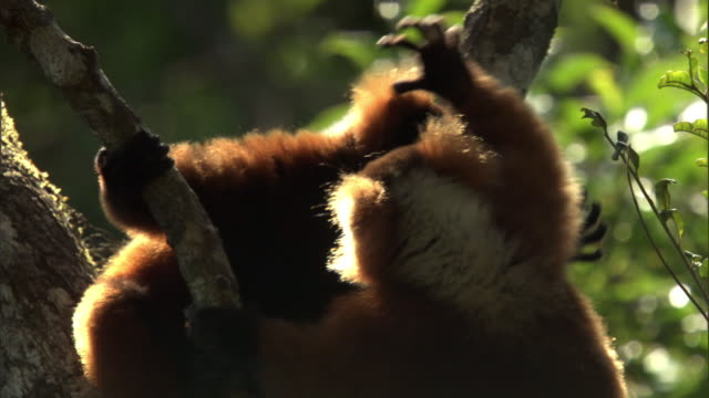 Red ruffed lemurs (Varecia rubra) play fight in tree in forest, Madagascar