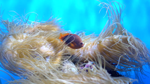 4K Red Saddleback anemonefish and sea anemones