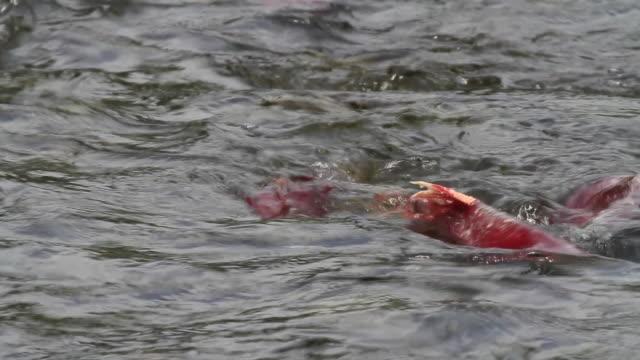 red salmon,  chugach national forest, alaska. - chugach national forest stock videos & royalty-free footage