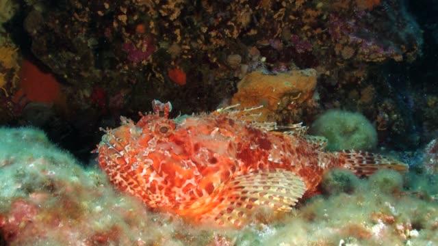 vídeos y material grabado en eventos de stock de red scorpionfish swim away - rascacio