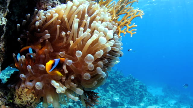 Red Sea Anemonefish (Nemo)