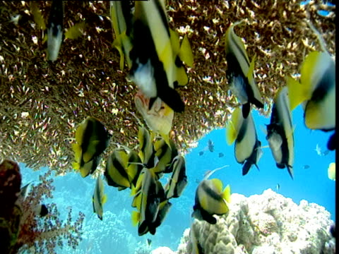 Red sea bannerfish under table coral with lone humpback snapper, Red Sea