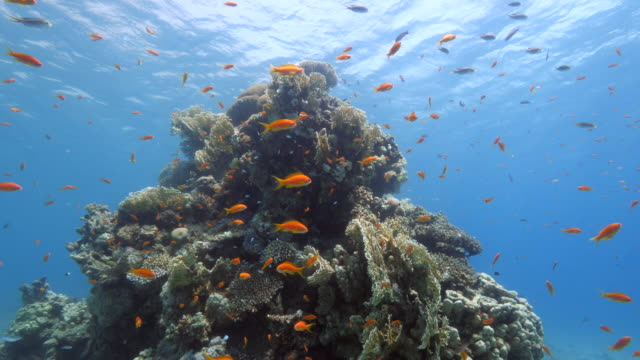 red sea - coral reefs - tropischer fisch stock-videos und b-roll-filmmaterial
