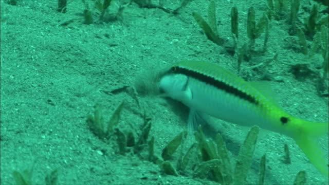 ms zo red sea goatfish feeding (parupeneus forsskali) among sea grass in red sea / sharm-el-sheikh, egypt  - goatfish stock videos & royalty-free footage