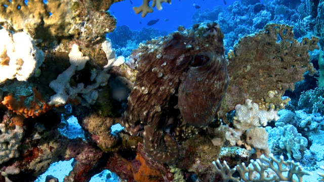 red sea octopus - camouflage stock videos & royalty-free footage